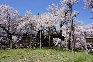 遊歩道からみた神代桜